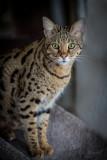 Savannah cat: Ashiki