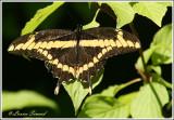 Grand porte-queue / Giant swallowtail / Papilio cresphontes Cramer