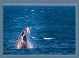 Hervey Bay Whale Watching 2013