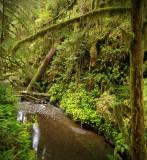 Quinault Rainforest 1.jpg