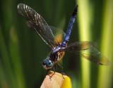 Dragonfly 2.jpg