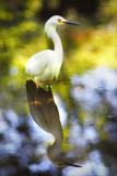 Snowy Egret 1.jpg