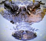 Alligator 1a.jpg