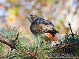 Red-tailed Hawk - Pale Male