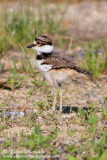 Killdeer (chick)