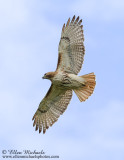 Central Park Birds of Prey