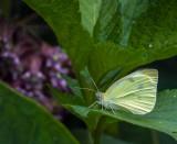 Piéride du chou - Cabbage White - Pieris rapae (4197)
