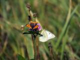 Cuivré d'Amérique - Lycaena phlaeas   &   Coliade du Trèfle - Colias philodice