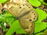 Sayre ocellé - Eyed Brown - Satyrodes eurydice (4568.3)