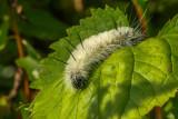 Chenille de l'Acronycte d'Amérique - American dagger moth caterpillar