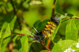 Chenille de l'Halisidote maculée - Spotted Tussock Moth caterpillar