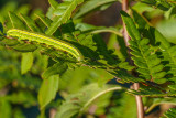 Chenille du Papillon - Black Arches moth - melanchra assimilis