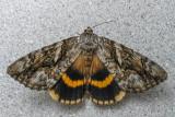 Likénée du tilleul - Yellow-banded Underwing - Catocala cerogama (8802)