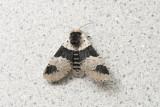 Cérure modeste - Modest Furcula - Furcula modesta (7941)