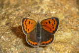 Cuivré d'Amérique - American Copper - Lycaena phlaeas americana (4251a)