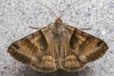Arpenteuse du trèfle - Clover Looper - Caenurgina crassiuscula (8738)