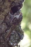 Brown Creeper feeding chick