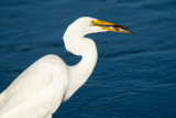 Great Egret with Staghorn Sculpin