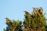 Juvenile European Starlings