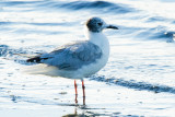 Bonaparte's Gull, molting
