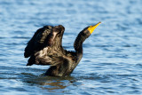 Double-crested Cormorant twisting