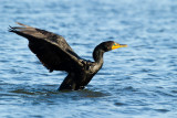Double-crested Cormorant flapping