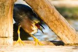 Green Heron swallowing