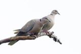 Eurasian Collard-Doves