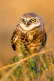 Burrrowing Owl