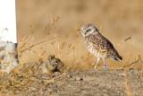 Burrowing Owl watching squirrel