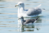 Sabine's Gull in front of California Gull