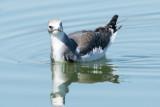 Juvenile Sabine's Gull