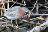 Green Heron with crayfish