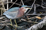 Green Heron swallowing crayfish