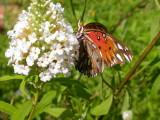 Gulf Fritillary on Butterfly Bush