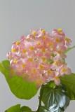 53.  Begonias at BergiesPlace.