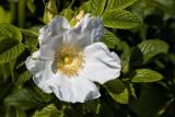 29.  A white Rosa Rugosa, Rockport, MA.