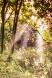 A Misty Woodland Morning