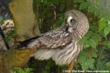 Great Grey Owl  (Laplanduil)