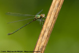 Western Willow SpreadwingLestes viridis