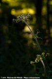 Common HogweedHeracleum sphondylium ssp.