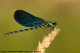 Beautiful DemoiselleCalopteryx virgo meridionalis