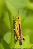 Large Marsh GrasshopperStethophyma grossum