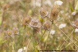 Wild TeaselDipsacus fullonum ssp.
