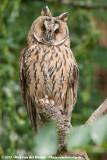 Long-Eared Owl  (Ransuil)