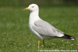 Ring-Billed Gull  (Ringsnavelmeeuw)