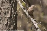Townsend's Solitaire  (Bergsolitaire)