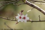 Wild CherryPrunus spec.