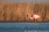Lesser FlamingoPhoeniconaias minor