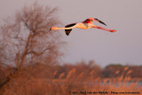 Greater FlamingoPhoenicopterus roseus